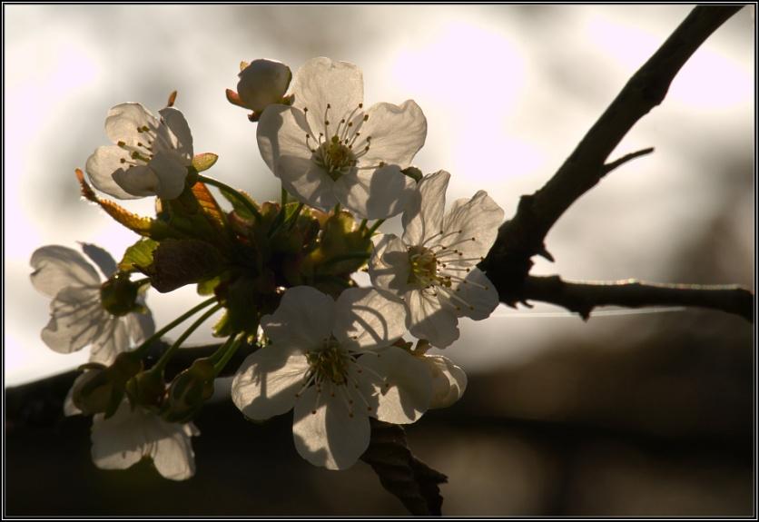Back-lit Cherry Blossom