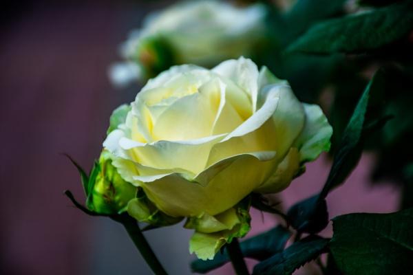 White rose by CaptSohail