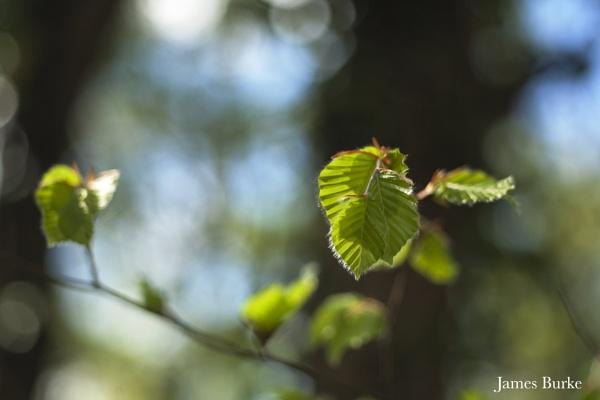 Hazel leaves by jameswburke
