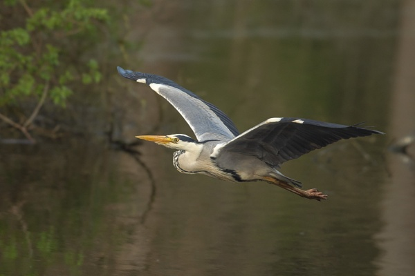 Heron Fly By by chensuriashi