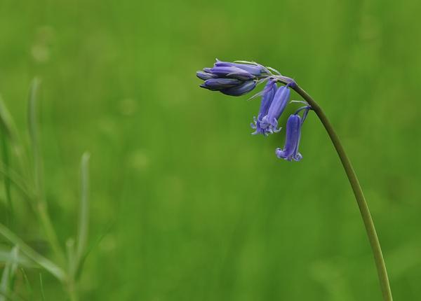 Blue Bell by Buffalo_Tom