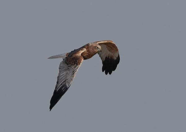 Male Marsh Harrier in Flight by NeilSchofield