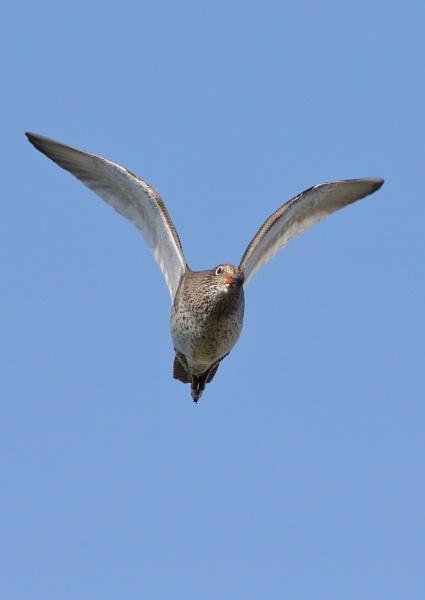 Redshanks in Flight by NeilSchofield