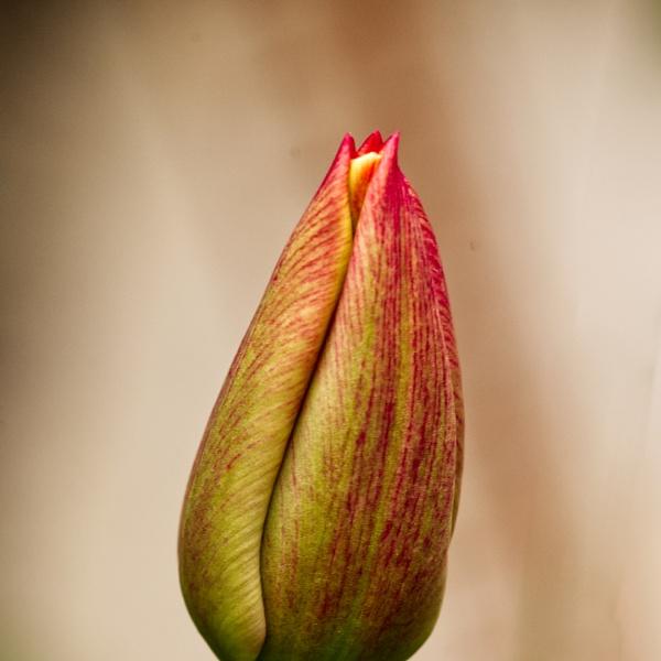 Tulip tip by elmer1