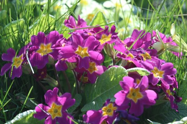 purple primrose by janetj