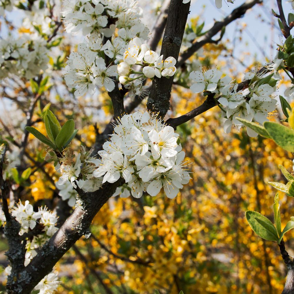 Mirabelle tree