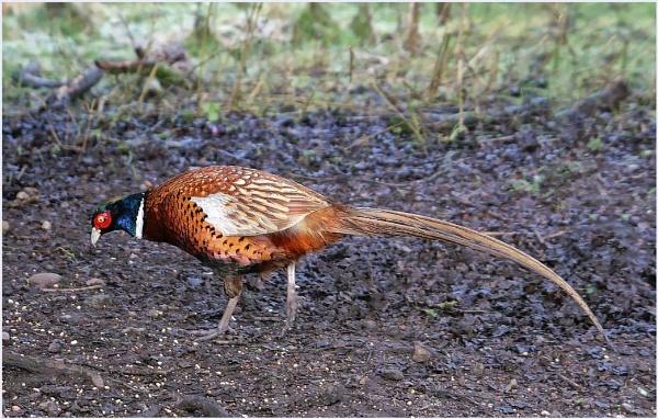 Pheasant by DeSilver