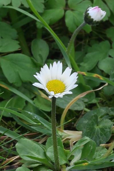 Daisy, Daisy by Silverzone