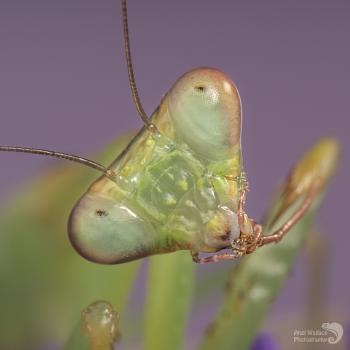 Malaysian blue praying mantis