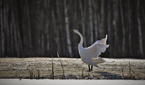 wild swans heading north by maratsuikka