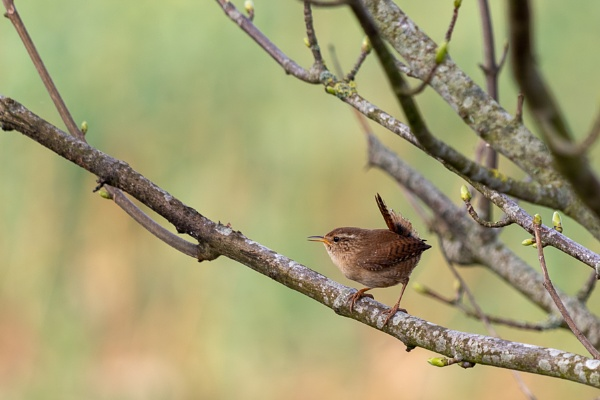 Tiny Wren (Troglodytes troglodytes) perched in a tree in springt by Phil_Bird