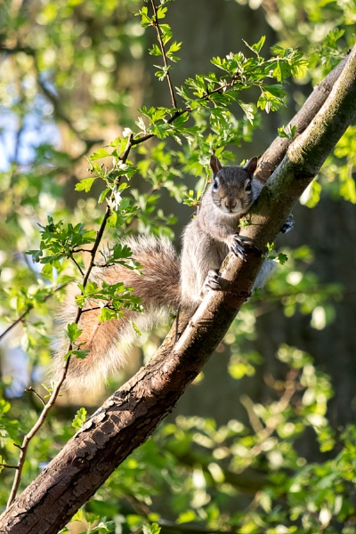 Grey Squirrel (Sciurus carolinensis) watching from a tree by Phil_Bird