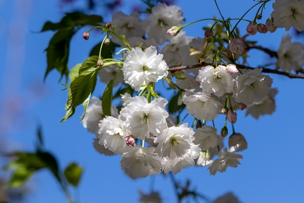 White blossom of a wild Cherry tree (prunus avium) by Phil_Bird