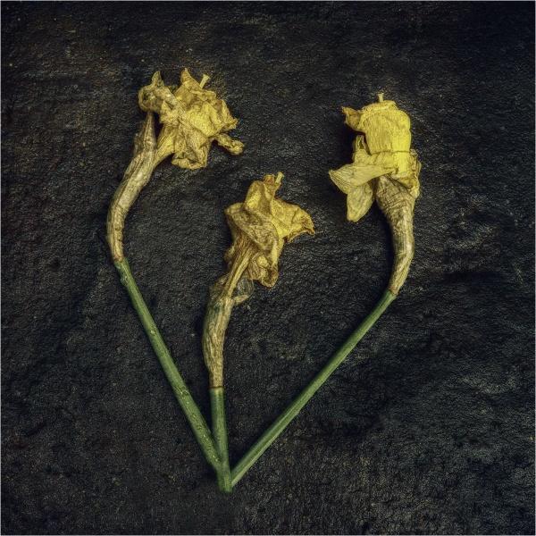 decaying daffodils by judidicks