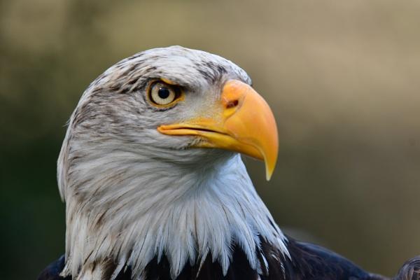 Eagle by Kappelhoff