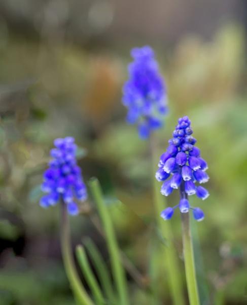 Grape Hyacinth by Irishkate