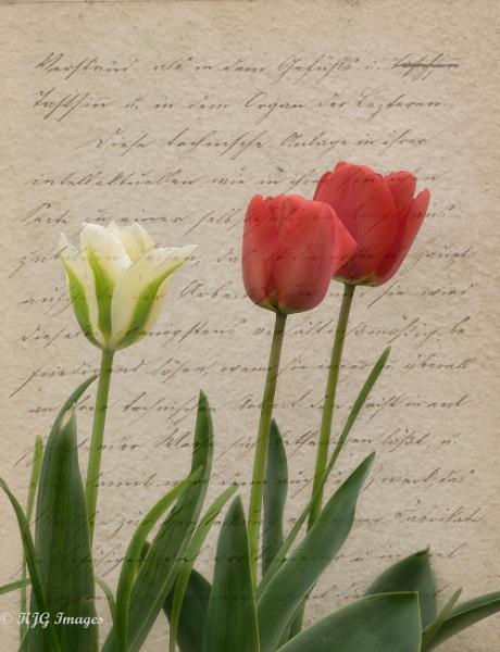 Tulips by kaz1