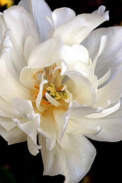 White Tulip by seven21