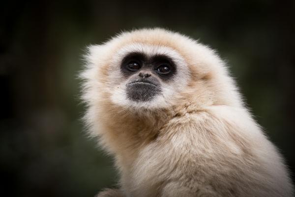 Gibbon by RolandC