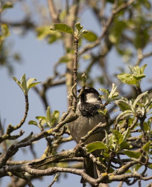 Sparrow in apple tree by Tony0062
