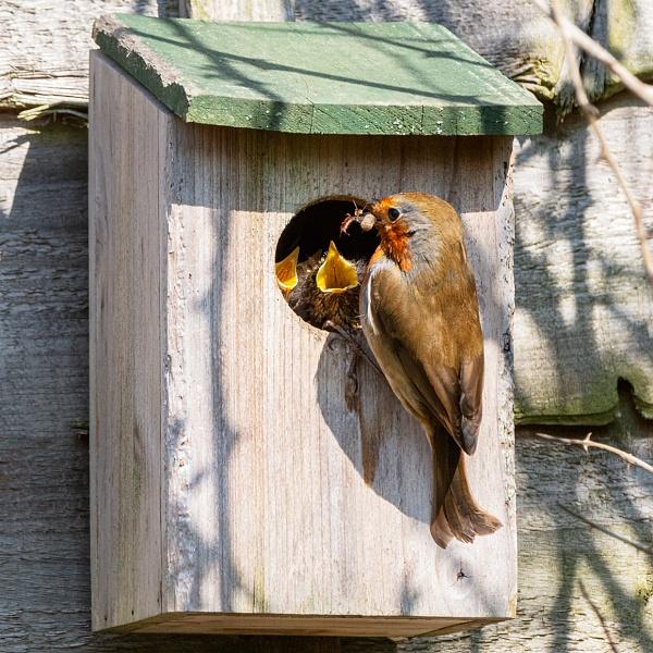 Robin feeding babies by pdunstan_Greymoon