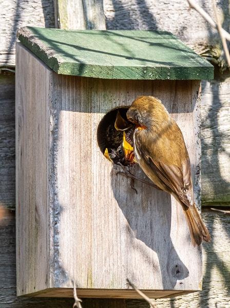 Baby Robins feeding by pdunstan_Greymoon