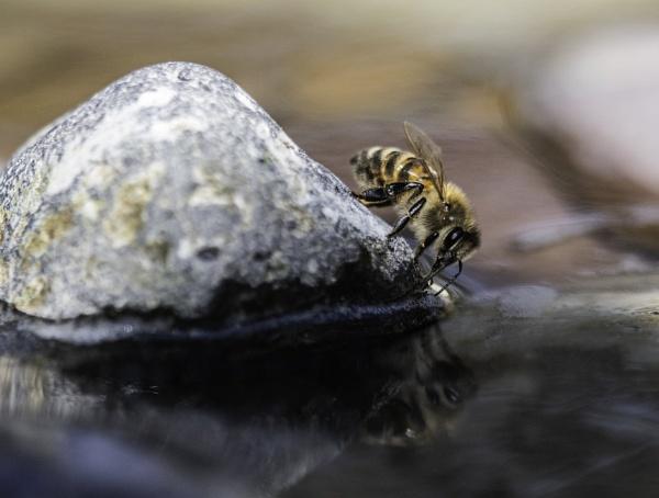 Honey Bee Drinking by ChristopherA