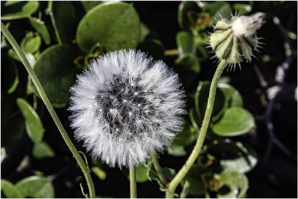 Dandelion by jimobee
