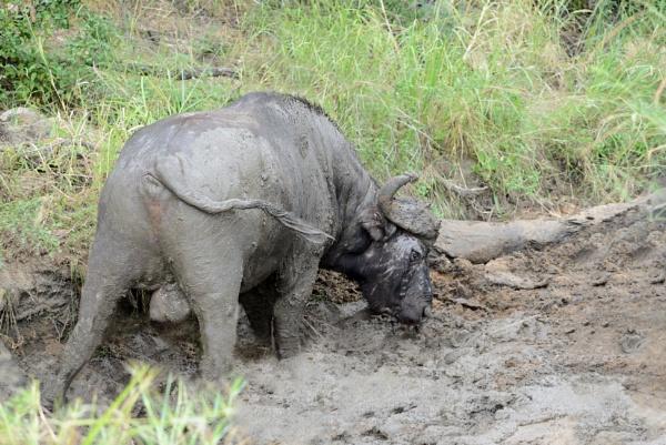 A Muddy affair. by Coen