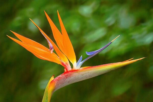 Bird of Paradise by photog666