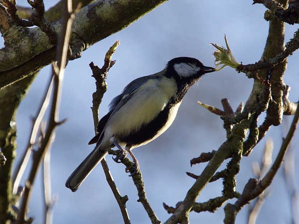 Great tit eating pear tree buds by prtd