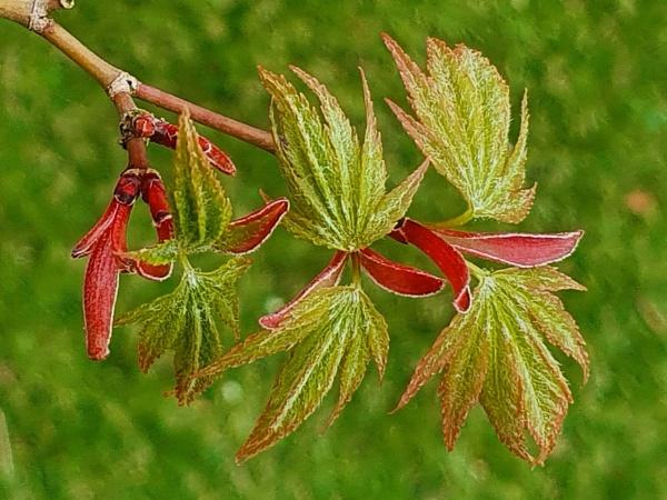 New Maple Leaves by Pretium