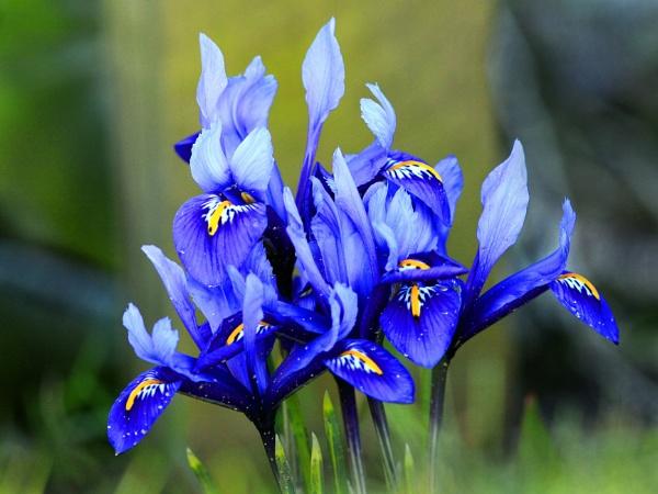 Miniature Iris by bobpaige1