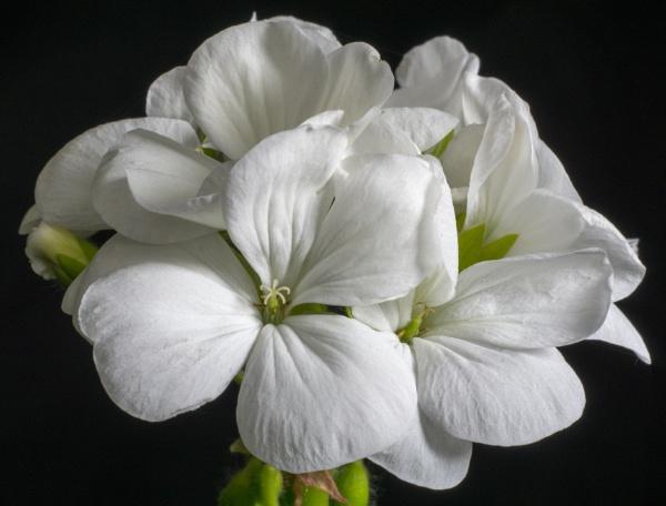 White Pelargonium by PRC
