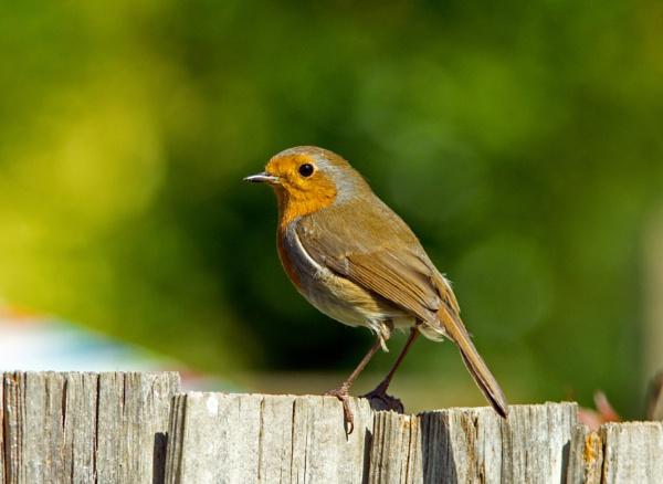 Robin by PRC