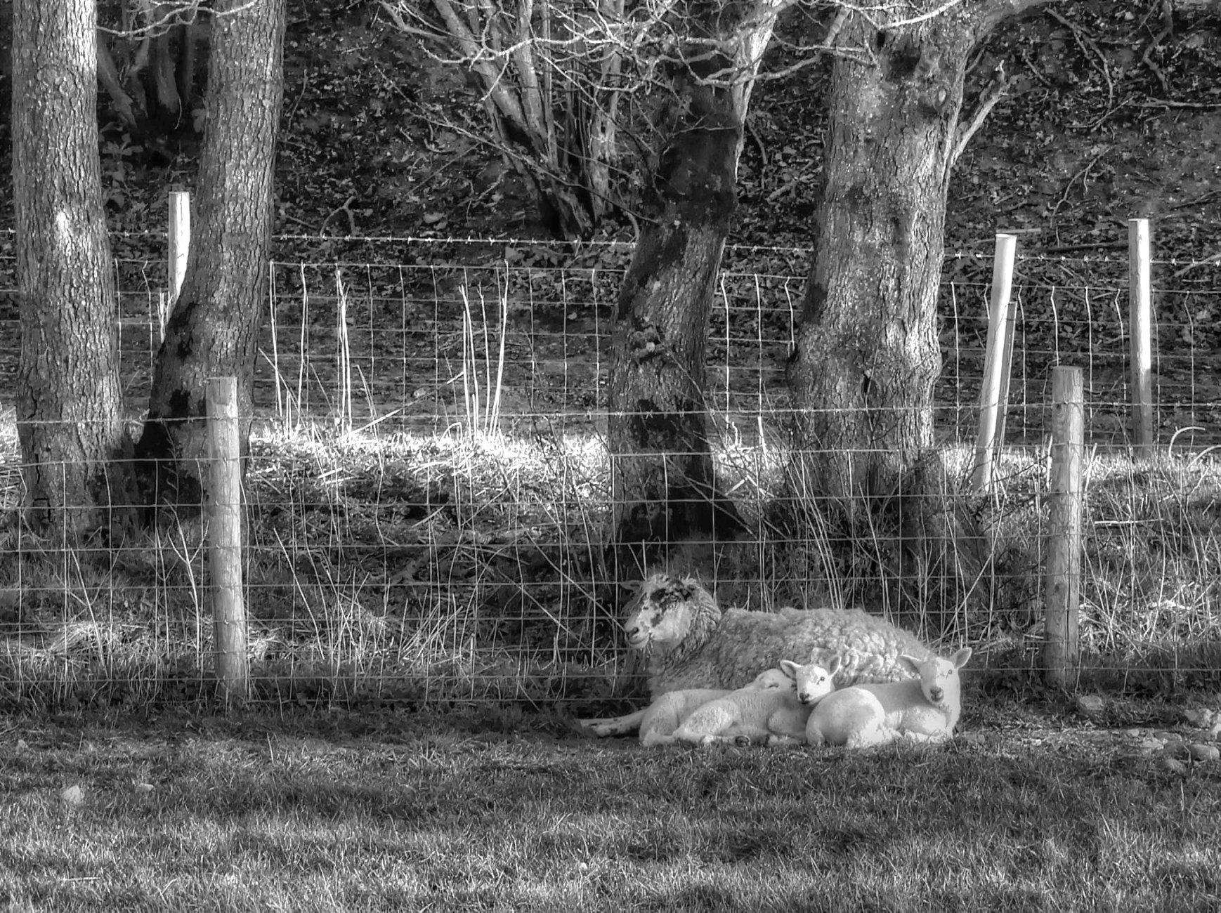 The life of a lamb