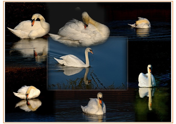 Swan collage by Howard2