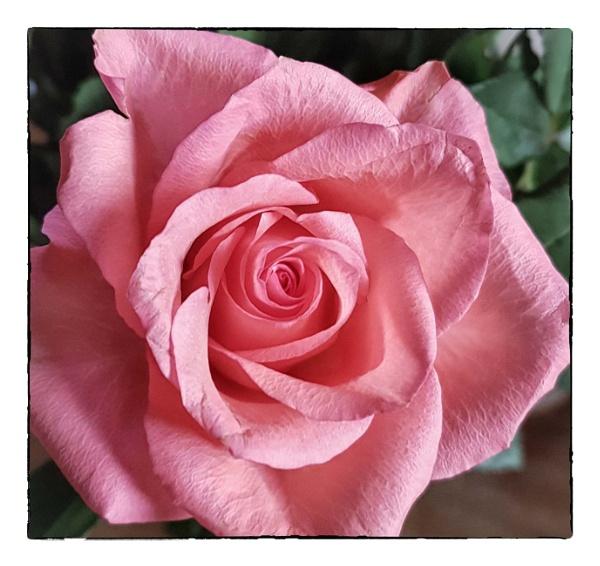 hdr rose by bornstupix2