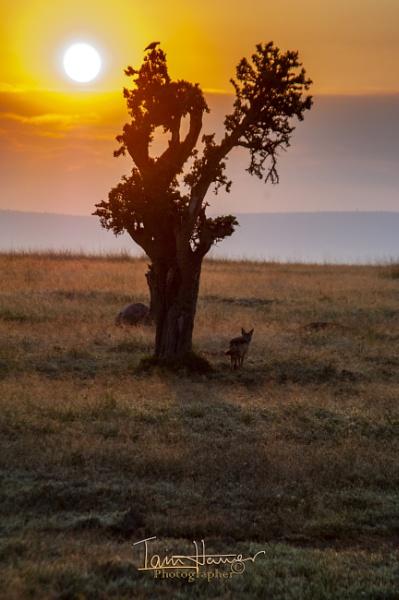 Sunrise, Tree and Jackal by IainHamer