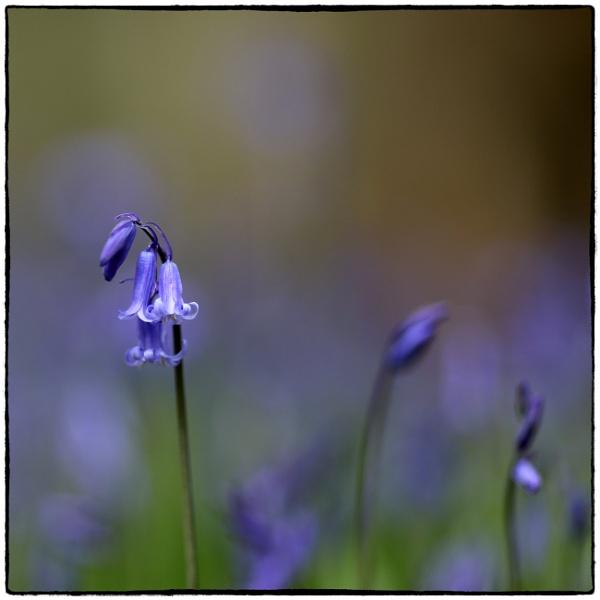 Bluebell - Hyacinthoides non-scripta by traveller47