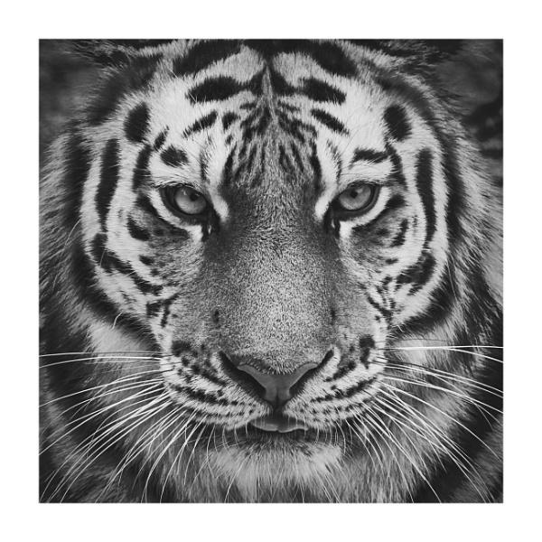 - tiger - by Maratony