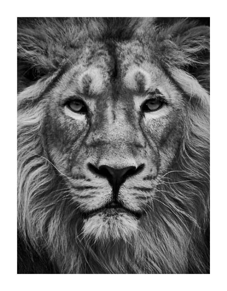 - lion - by Maratony