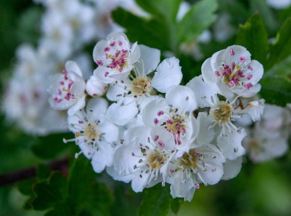 spring blossom by Bert47
