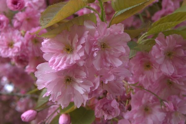 pink blossom by Bert47