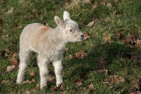 lamb by Bert47