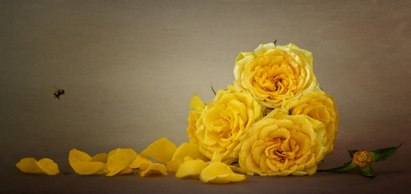 Yellow Roses by chase