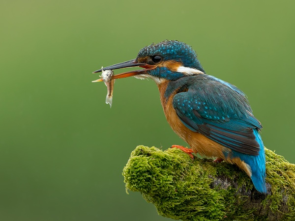 Kingfisher with catch by Steve_S