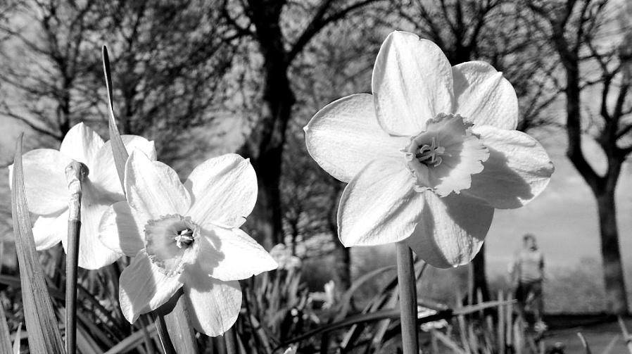 Daffodils & Rambler