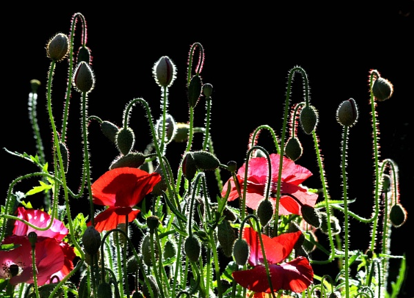 Poppies by viscostatic