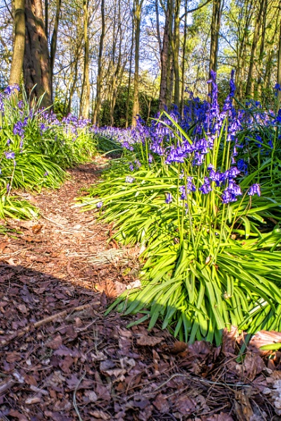 Bluebells on the daily walk by mmart